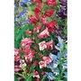 Penstemon Rondo x 10 young plants