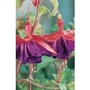 Giant Fuchsia Royal Velvet x 5 plants +5 FREE!