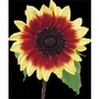 Sunflower Magic Roundabout x 50 seeds