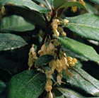 Elaeagnus x ebbingei (oleaster)