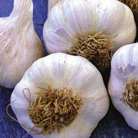 garlic 'Solent Wight' (garlic (softneck) bulb)