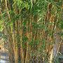 Phyllostachys aureosulcata f. aureocaulis (golden groove bamboo)