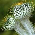 Onopordum acanthium (Scottish thistle)