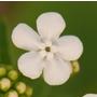 Brunnera macrophylla 'Betty Bowring' (Siberian bugloss)