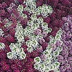 Alyssum Golf Mix Seeds