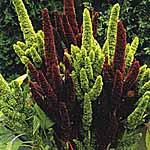 Amaranthus Pygmy Torch Seeds
