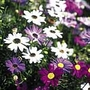 Swan River Daisy Bravo Mix Seeds (Brachyscome)
