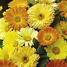 Calendula Daisy Mix Seeds