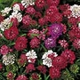 Candytuft Fantasia Mix Seeds