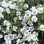 Clarkia Snowflake Seeds