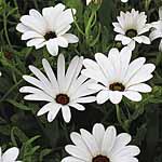 Dimorphotheca Glistening White Seeds
