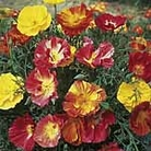 Eschscholzia Thai Silk Mix Seeds