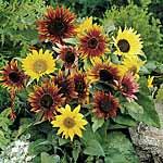 Sunflower Paquito Mix Seeds