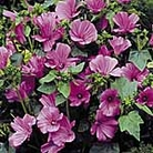 Lavatera Novella Rose Seeds