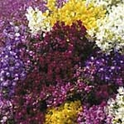 Linaria Little Sweeties Mix Seeds