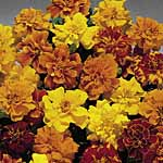 Marigold (French) Summer Loving Mix Seeds