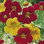 Nasturtium Peeping Tom Seeds