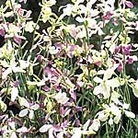 Night Scented Stock Evening Fragrance Seeds