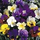 Viola Velvet Mix Seeds