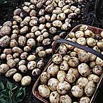 Seed Potatoes - Foremost 3kg (First Early)