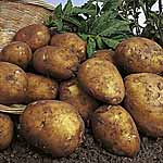 Seed Potatoes - Rocket 3kg (First Early)