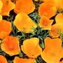 Flower Seeds - Californian Poppy Mexicana Sun Shades