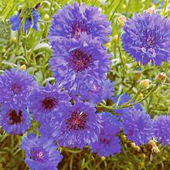 Flower Seeds - Cornflower Dwarf Jubilee Gem