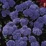 Ageratum Blue Mink Seeds