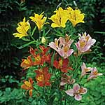 Alstroemeria High Society Mix Seeds