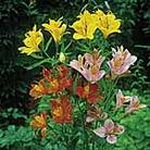 Alstroemeria High Society Mix Seeds