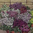 Alyssum Easter Basket Seeds