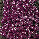 Alyssum Rosie O'Day Seeds