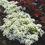 Alyssum Snow Carpet (Improved Strain) Seeds