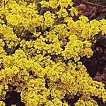 Alyssum Saxatile Golden Queen Seeds