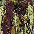Amaranthus Magic Fountains Seeds
