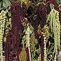 Amaranthus Magic Fountains Seeds