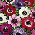 Anemone Sweetheart Mix Pips