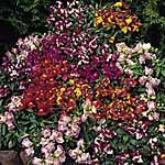 Antirrhinum F1 Pearly Queen Mix Seeds