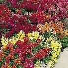 Antirrhinum Magic Carpet Mix Seeds