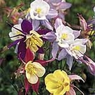 Aquilegia Pretty Bonnets Mix Seeds