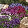 Aubrieta Cheeky Mix Seeds