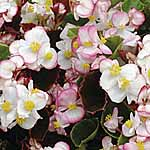 Begonia Blushing Bride Supaseeds