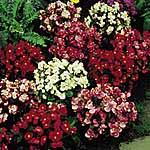 Begonia F1 Devon Gems Mix Supaseeds