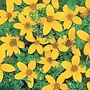 Bidens Golden Eye Seeds