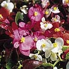 Begonia Tomfoolery Mix Seeds
