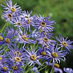 Swan River Daisy Blue Star Seeds