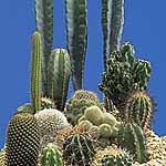 Cactus 'Prickly Characters' Seeds