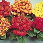 Calceolaria F2 Bubblegum Mix Seeds