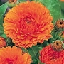 Calendula Seeds - Orange King