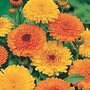 Calendula Princess Mix Seeds